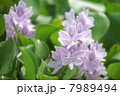 布袋葵 ホテイアオイ ウオーターヒアシンスの写真 7989494