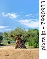 樹齢1000年のオリーブの木 7990933