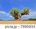 樹齢1000年のオリーブの木 7990934