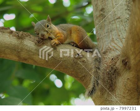 枝の上で一休み 日本栗鼠 7997231