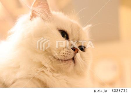 猫カフェの猫 8023732