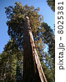 セコイア ジャイアントセコイア 樹木の写真 8025381
