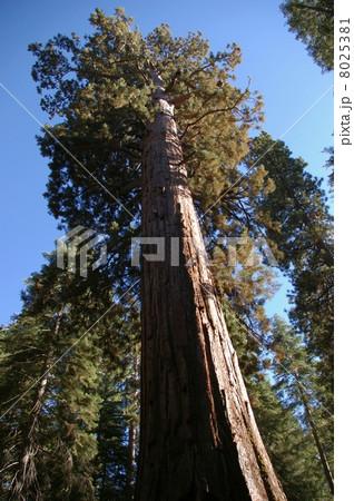 セコイアの巨木 8025381