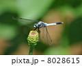 シオカラトンボ とんぼ トンボの写真 8028615