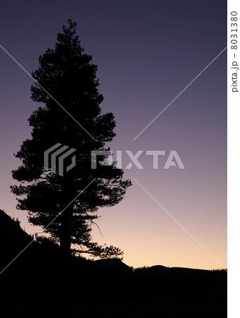 大木のシルエット 8031380