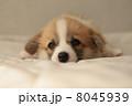 ウェルッシュコーギーペンブローク 子犬 コーギーの写真 8045939