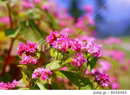 赤蕎麦の花 花言葉:あなたを救う  Flowers of  red buckwheats 8056464