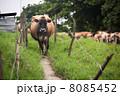 哺乳類 酪農 ウシの写真 8085452