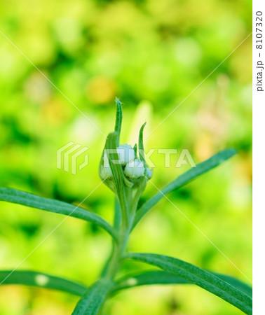 ヤマハハコ 花言葉:親子愛 Anaphalis margaritacea 8107320