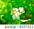 ヤマハハコ 花言葉:親子愛 Anaphalis margaritacea 8107321