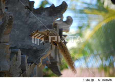リス 小動物 ペット インドネシア 野生 野生動物 ヤシの木 椰子の木 台湾リス 目線 眼光 視線 石像 レリーフ バリ島 アジアンリゾート バリ島 風景 自然 南の島 南国 かわいい ヤシの葉 リゾ 8108086