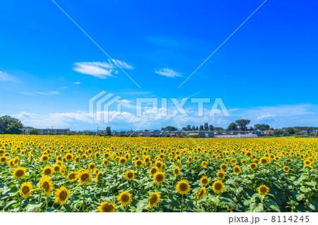 清瀬のひまわり畑 8114245