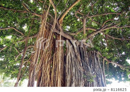 ワイキキビーチのバニヤン(ガジュマル)の木 8116625
