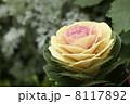 耐寒性 アブラナ属 ハボタンの写真 8117892