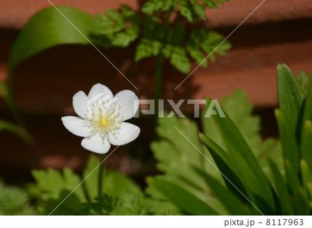 夏秋明菊の花 8117963