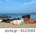 動物 牛 ビーチの写真 8123068