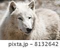 イヌ科 野生動物 オオカミの写真 8132642