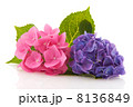 Pink and blue Hydrangea 8136849