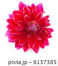 お花 フラワー 咲く花の写真 8137385