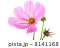 コスモス 花 ホワイトの写真 8141168