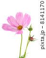 コスモス 花 ホワイトの写真 8141170