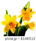 Yellow daffodils 8146513