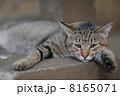 だらけた猫 8165071