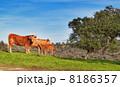 農村地帯 放牧 牛の写真 8186357
