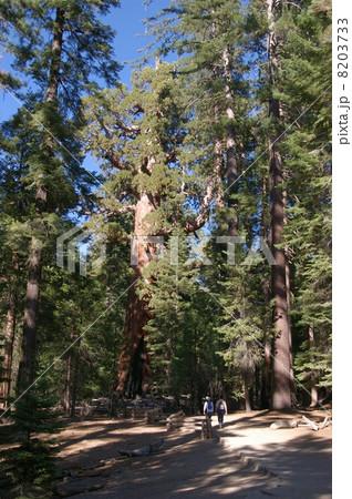 セコイアの森 8203733