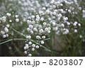 カスミ草 8203807