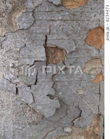 ケヤキの樹皮は成長とともにはがれおちます 8234473