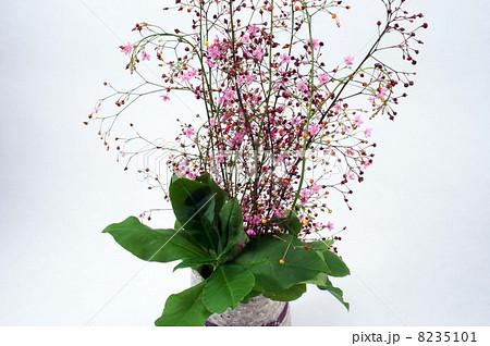 ハゼランの小さくて・かわいい花と赤い実 8235101