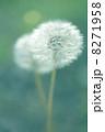 Dandelion flower 8271958