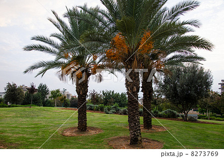 how to grow date palms