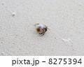 ヤドカリ 巻き貝 貝類の写真 8275394