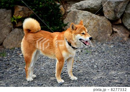 柴犬を横から見た全身(三歳) 8277332