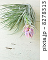 エアープランツ エアプランツ 花の写真 8278313