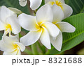 プルメリア 8321688