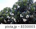 ハワイのプルメリア 8330003
