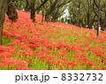 権現堂堤 曼珠沙華祭り 彼岸花の写真 8332732