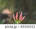 とんぼ 彼岸花 蕾の写真 8334341