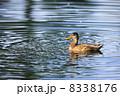 かるがも 軽鴨 カルガモの写真 8338176