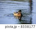かるがも 軽鴨 カルガモの写真 8338177