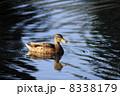 かるがも 軽鴨 カルガモの写真 8338179