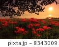滋賀県高島市 琵琶湖 湖畔の彼岸花 8343009