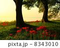 滋賀県高島市 琵琶湖 湖畔の彼岸花 8343010
