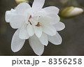 早春に咲く辛夷の花 8356258