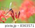 曼珠沙華 トンボ 花の写真 8363571