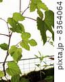 ツタ のぶどう 野葡萄の写真 8364064