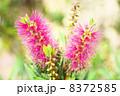 ブラシノキ ブラシの木 金宝樹の写真 8372585